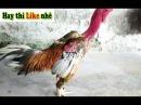 Cách chọn gà chọi, ♥ hay nhất, ♥ xem tướng gà chọi để có được ♥thần kê vô địch♥