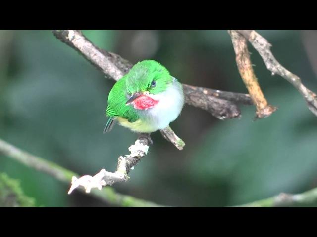 Puerto Rican Tody Пуэрториканский тоди Todus mexicanus