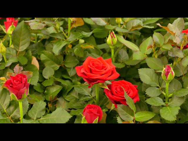 ROSA DANICA VIDEO1
