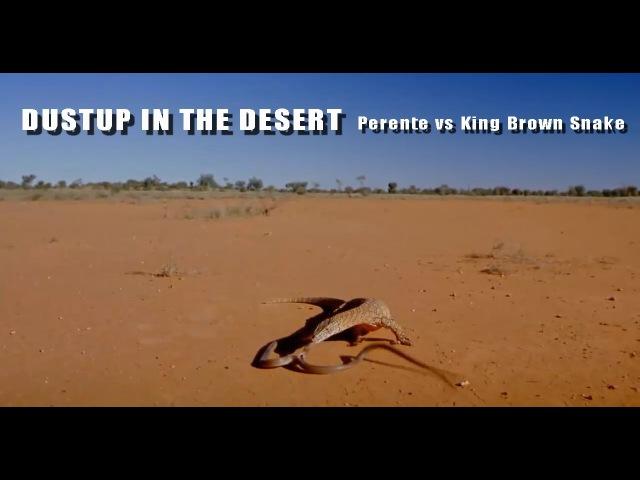 Ящерица напала на змею 2.0m Perente vs 2.5m King Brown