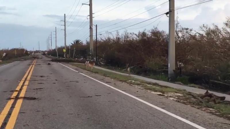 Майами.....выжившие после Ирмы......Video of several Key Deer who survived. @CBSMiami ..