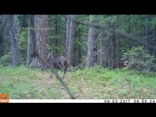Кабарга, саблезубый олень на Столбах