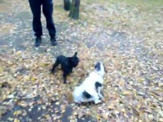 Жесткий собачий бой двух французов 18+))