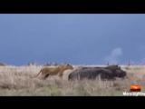 Львица и бегемот