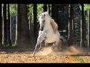 Андалузы Андалузская порода лошадей Pura Raza Espanol Andalusian horse