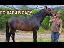 Лошади в яблоневом саду. Агроэкспедияция в Кабардино-Балкарию
