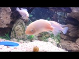 Meditation ambiance background music with the nature sounds of the cichlid tank.