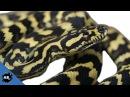 Carpet Python Capture Wild Australia Pt 2 SnakeBytesTV Ep 392 AnimalBytesTV