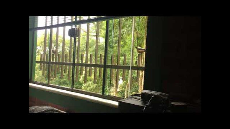 Saíras Casal na Janela Tiguera 360 Juiz de Fora MG Brasil IMG 2470 117 7 MB 13h43 13ago17