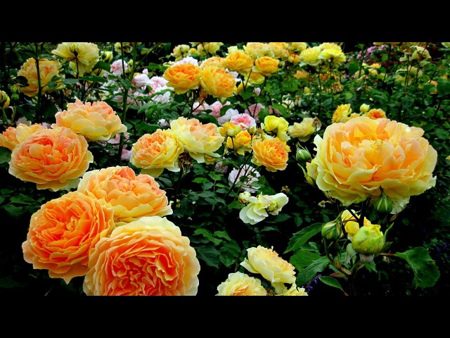 4K-Most beautiful rose flowers, Koi fishes and garden