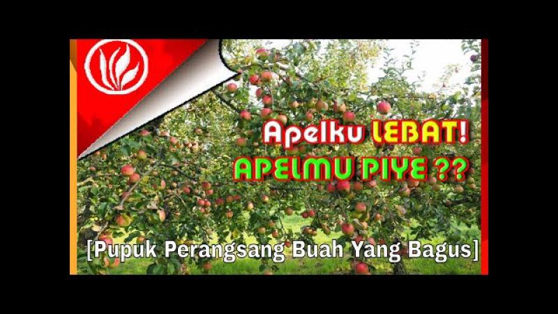 Cara Menanam Apel Berbuah Lebat | Pupuk Buah Apel Agar Panen Meningkat