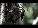 Golden naped Woodpecker Масковый меланерпес Melanerpes chrysauchen