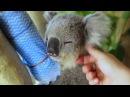 Koalas cool down in Sydneys Heatwave
