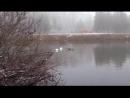 4 лебедя на нашем пруду 2 белых и 2 чёрных, сегодня, и масса уток.
