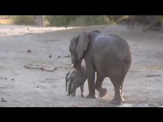 Слоненок хочет купаться еще и еще!