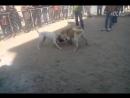 Кангал VS аргентинский дог (Собачьи бои)