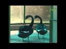 Не гадкий утенок. Пара черных лебедей в самарском зоопарке дала потомство вперв