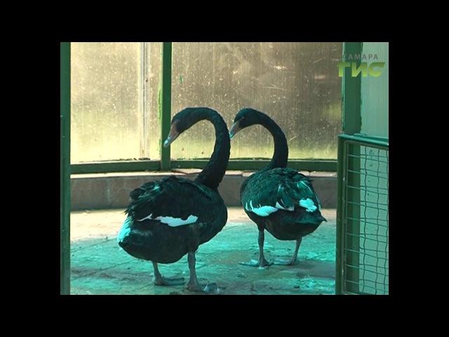 Не гадкий утенок. Пара черных лебедей в самарском зоопарке дала потомство вперв ...