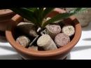 Орхидеи ванда, ринхостилис гигантея уход, содержание в керамике