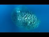 Predators Attack Fish Bait Ball - Blue Planet - BBC Earth