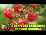 9 СЕКРЕТОВ БОЛЬШОГО УРОЖАЯ МАЛИНЫ