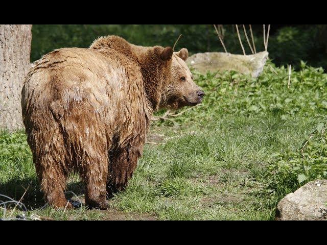 Медведь вышел на дорогу в Архангельской области