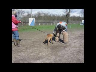 Постановка на защиту щенка малинуа 3,5 месяца