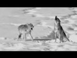 Nargaroth - Amarok - Zorn Des Lammes III