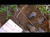 Ох уж эти болтливые полосатые мангусты! Oh, those talkative striped mongooses! Africa v.2 Short video. 23.10.2017.