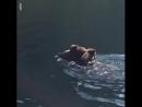 Медвежата переплывают реку на спине медведицы