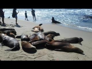 Морские котики) Пляж Ла Хойя в Сан-Диего, штат Калифорния. США 2016
