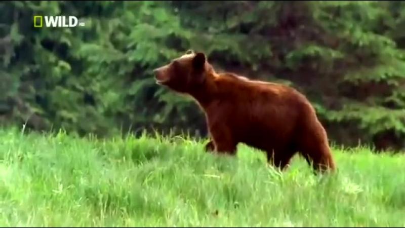 Доисторические хищники — Короткомордый медведь Документальные фильмыo HD