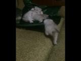 Бонины котята