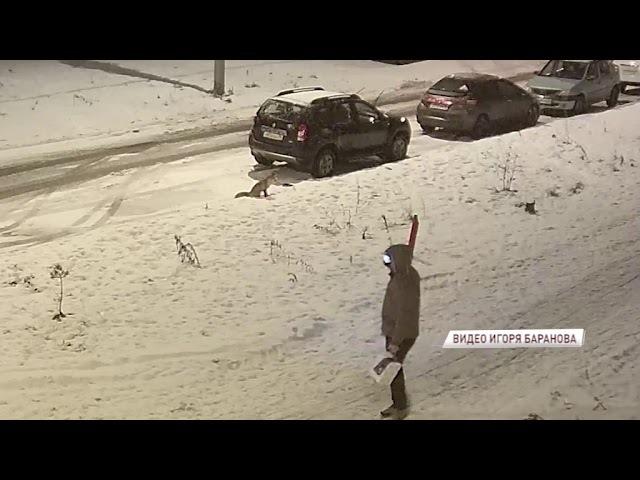 ВИДЕО: лиса прогулялась по ярославским дворам и попозировала перед камерами