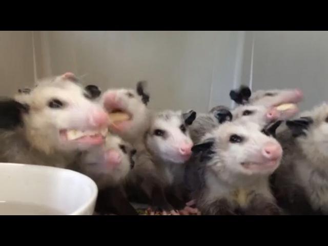 Опоссумы едят бананы