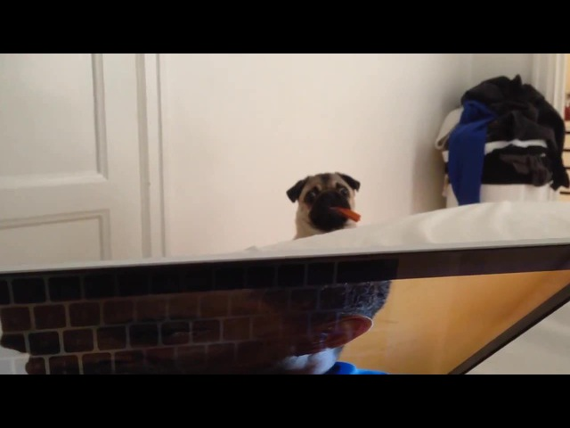 I'll be watching you - Pug edition
