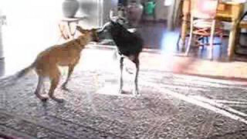 Eva speelt met Cleo en krijgt straf! Laekense herder.