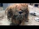 Брошенная собака породы ши-тцу, изменилась после того как с нее состригли панцирь из собачьей шерсти.