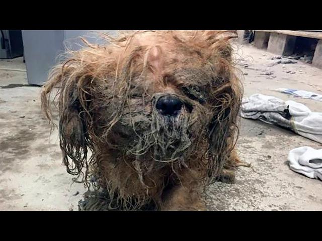 Брошенная собака породы ши-тцу, изменилась после того как с нее состригли панцирь из собачьей шерсти. » Freewka.com - Смотреть онлайн в хорощем качестве