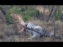 ▶ Leopard Detonates Zebra Carcass in Kruger National Park