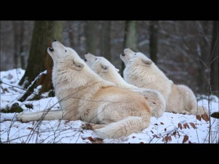 Arctic Wolfpack Howls (Part 1)