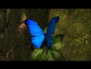 Morpho Butterfly CG (Rotating Flying Views)