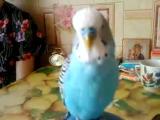 Мой попугай подпевает Елке