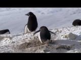 Хитрюга пингвин (6 sec)