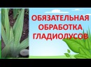 ОБЯЗАТЕЛЬНАЯ ОБРАБОТКА ГЛАДИОЛУСОВ НА 3-4 ЛИСТЕ🌱🌱🌱