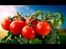 Сорта томатов для теплиц Среднерослые томаты Приусадебное хозяйство
