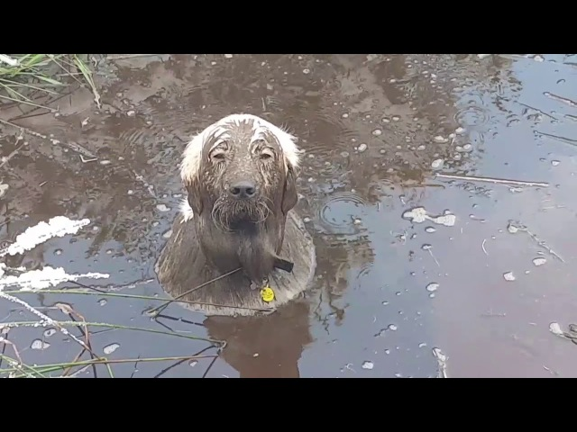 Dog dives into muddy pond and won't come out ORIGINAL created and owned by @work?wewalk!