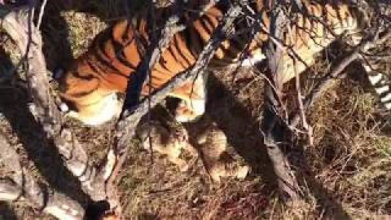 Тигрица Скарлетт и новорождённые тигрята. Тайган. Крым.