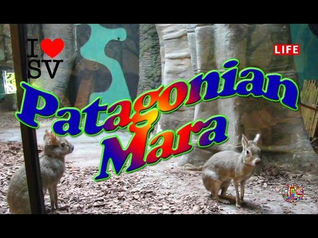 Patagonian Mara (Cavy) - Moscow Zoo [SV Life]