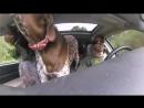 Собаки радуются тому, что едут в парк (VHS Video)